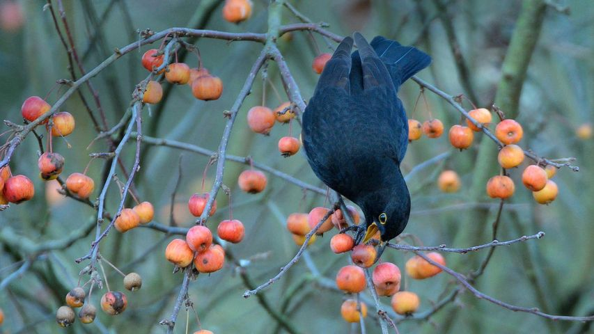 Blackbird eating a crab apple in a garden in Wiltshire, United Kingdom