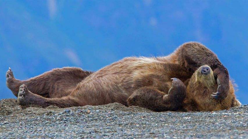 Grizzly bear cub relaxing, Cook Inlet, Chinitna Bay, Lake Clark National Park and Preserve, Alaska
