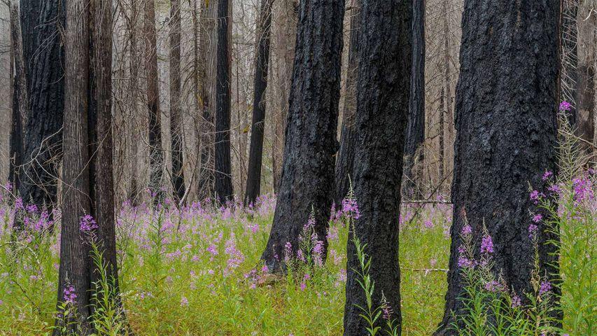 Des épilobes à feuilles étroites, Parc national de North Cascades, État de Washington