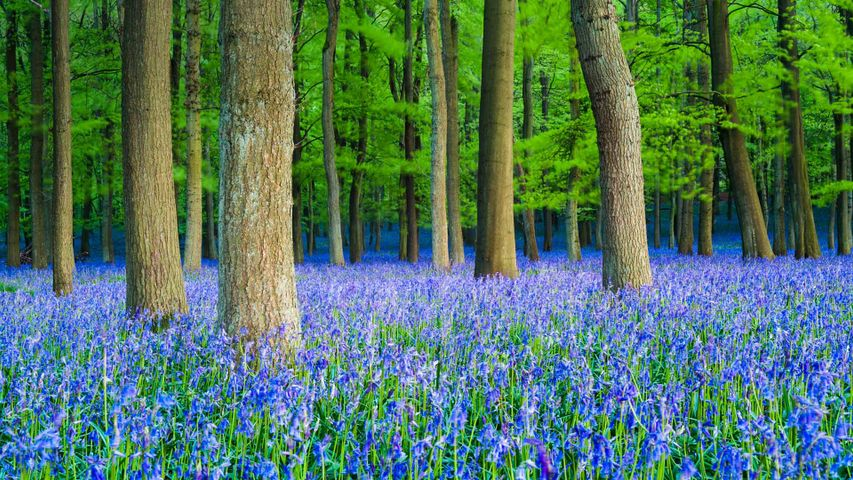 A carpet of bluebells in beech woodland, Hertfordshire