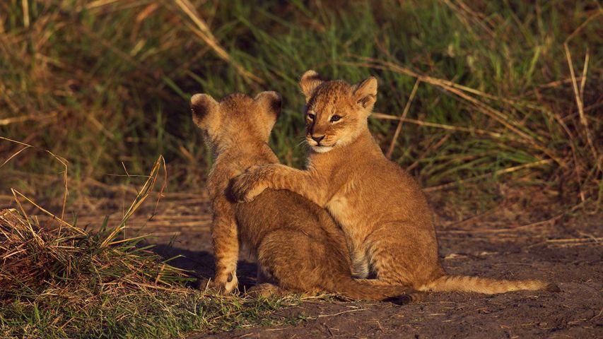 Deux lionceaux dans la réserve nationale du Masai Mara au Kenya