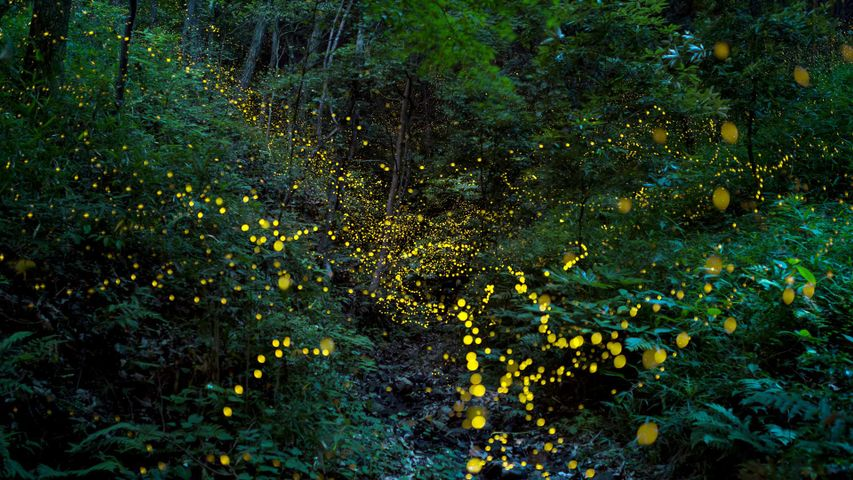 「森の中のホタル」岡山県