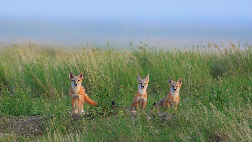 Crías de zorro cometa en el Parque Nacional de las Grasslands, cerca de Val Marie, en Saskatchewan, Canadá