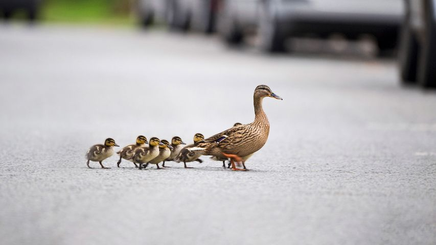Mallard, Anas platyrhynchos, mother leading ducklings across road, Arundel, Sussex