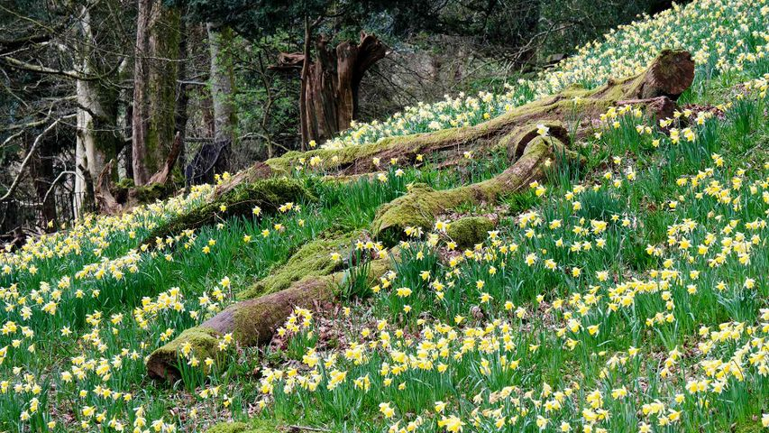 Daffodils in Dora's Field, Rydal, Lake District