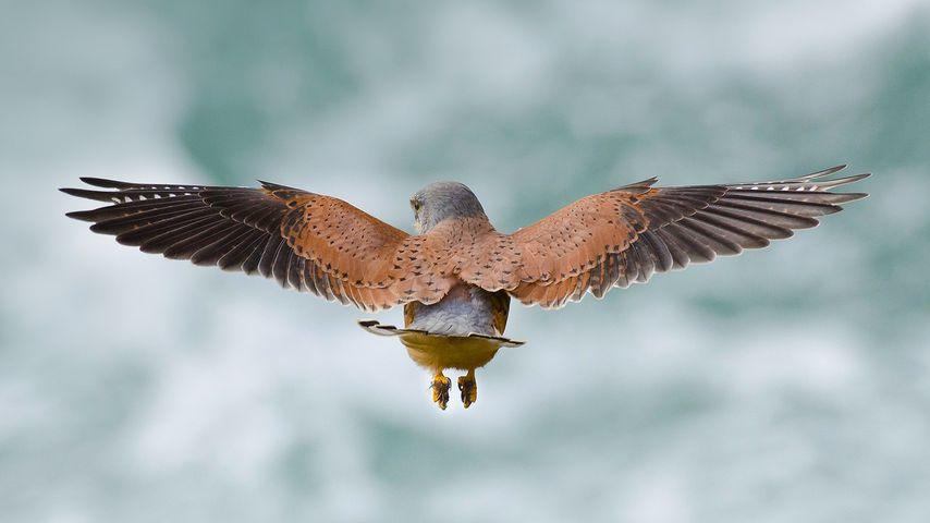 Faucon crécerelle chassant des rongeurs