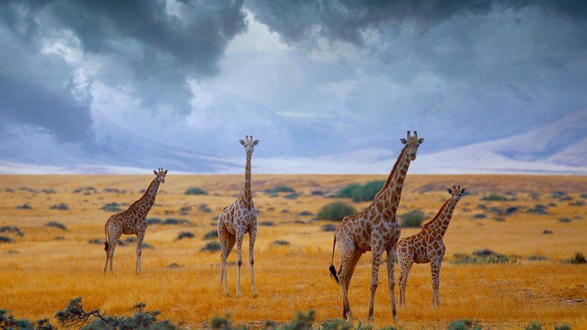 giraffe sky grass outdoor field mammal animal giraffidae