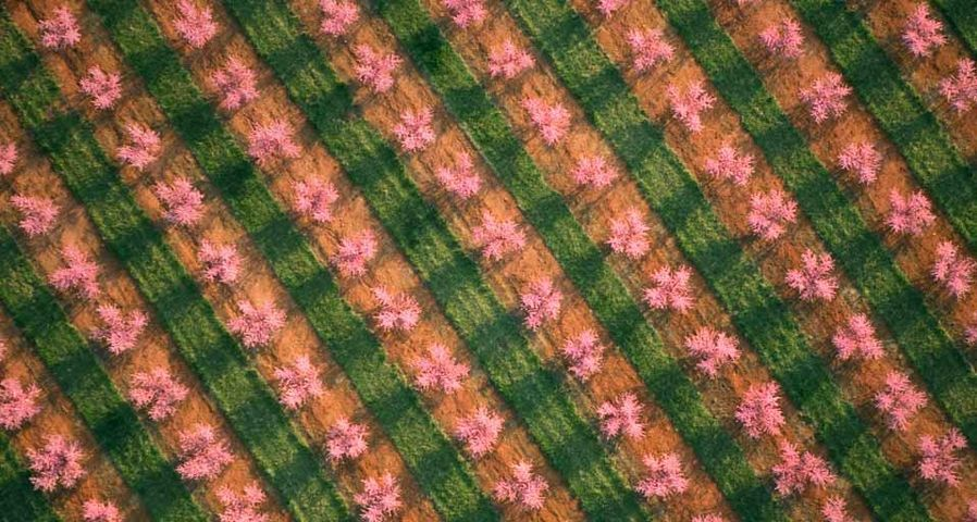 Aerial view of a peach orchard in full springtime bloom near Chesnee, South Carolina