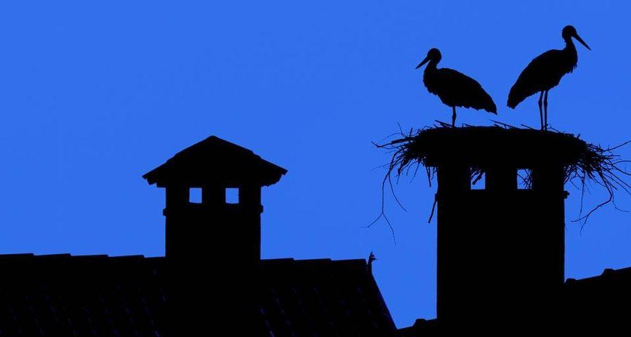 White storks roost in the Oasi dei Quadris near Fagagna, Friuli-Venezia Giulia region, Udine province, Italy