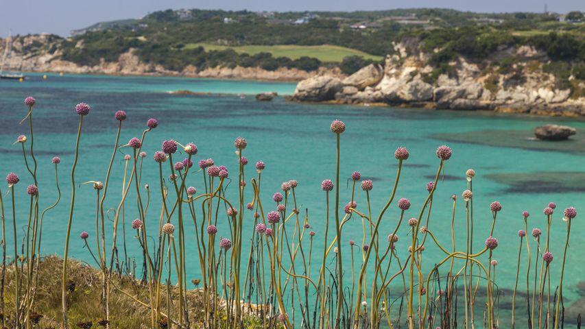 Petites fleurs roses le long d'une crique, Bonifacio, Corse, France