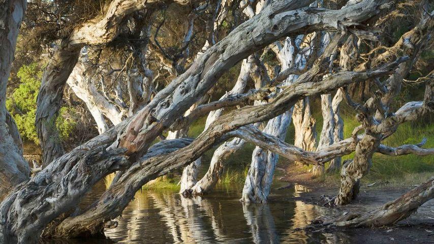 Myrtle trees (Melaleuca) at Norman's Beach near Albany in Western Australia