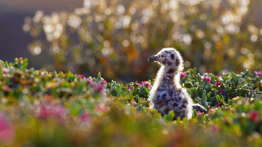 Western gull chick in Channel Islands National Park, California