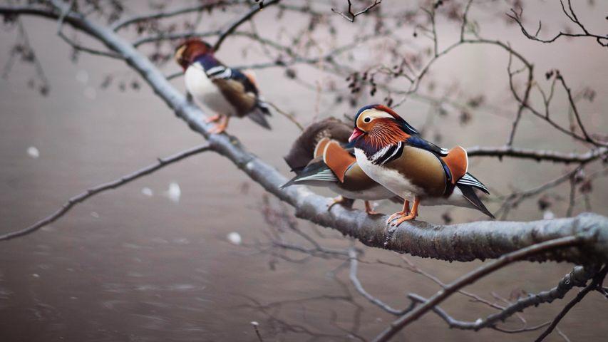 Mandarin ducks perched on a branch