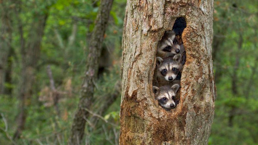 Waschbären-Nachwuchs in einer Baumhöhle