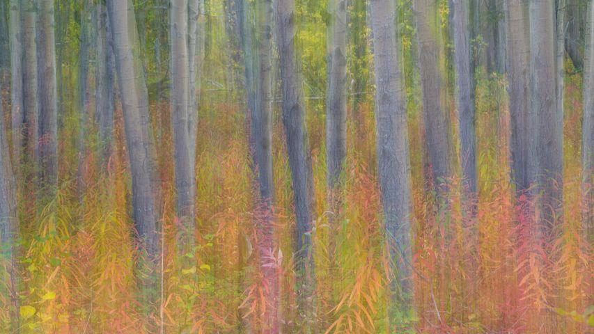 克鲁瓦尼国家公园中杨树的抽象动态模糊影像,育空