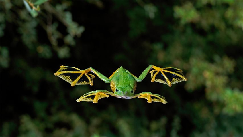 A Wallace's flying frog glides to the forest floor