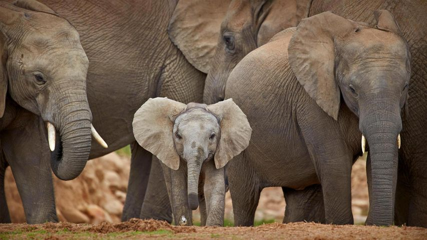 African elephants in Addo Elephant National Park in South Africa