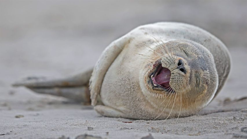 It's our birthday too, yeah! Harbor seal pup lying on the beach, Heligoland, Germany