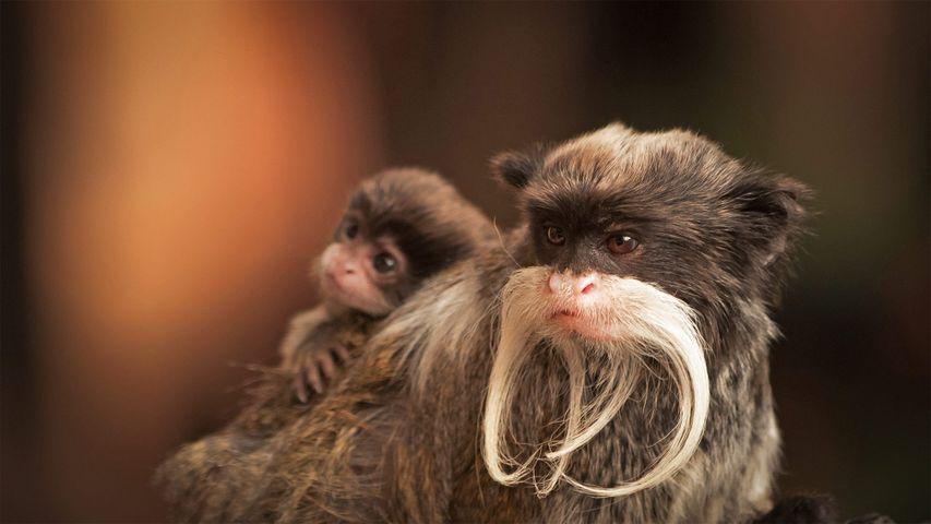 一只带着幼崽的长胡子皇狨猴