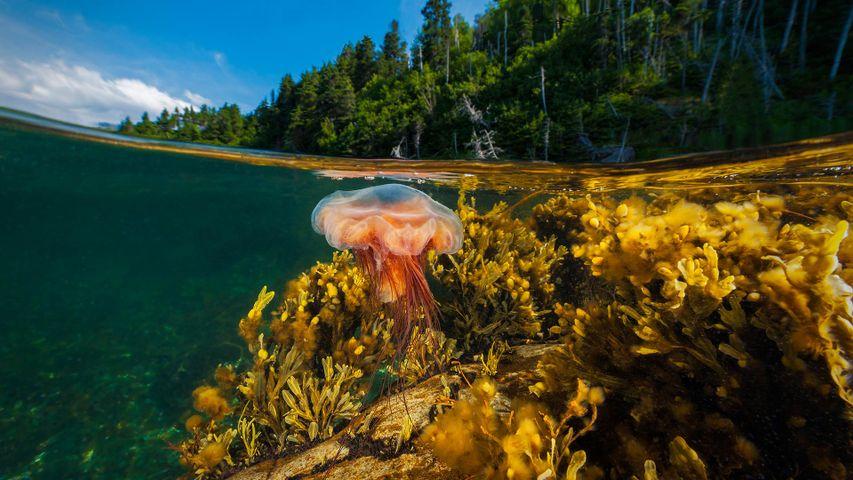 A lion's mane jellyfish drifts in Gros Morne National Park, Newfoundland