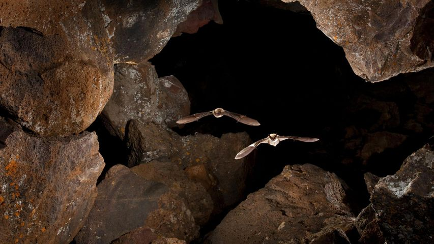 Myotis bats in Pond Cave, Craters of the Moon National Monument and Preserve, Idaho