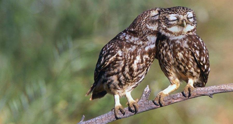 Little owls roost in Extremadura, Spain
