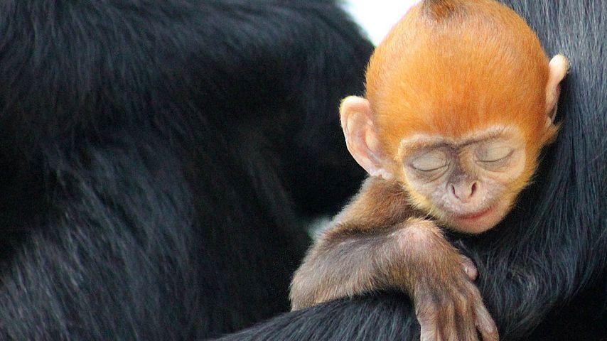 Francois' langur infant with mother