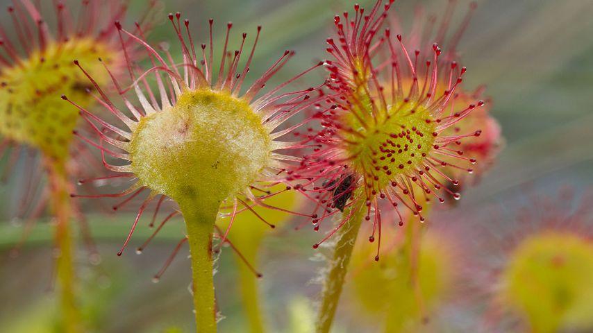 Common Sundew (Drosera rotundifolia), Prince Rupert, B.C.