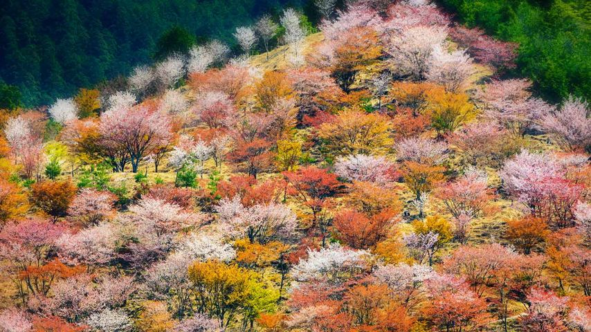 Spring cherry blossoms on Mount Yoshino in Nara Prefecture, Japan