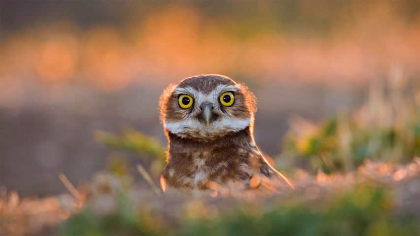 An adult burrowing owl emerges from its burrow at sunset in Davis, California