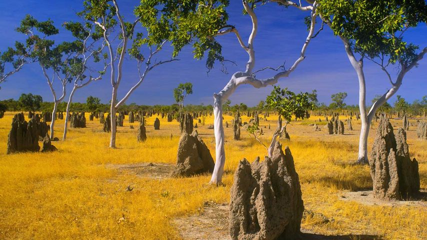 Termite mounds and snappy gums in savannah grassland, Gulf Country, Queensland, Australia