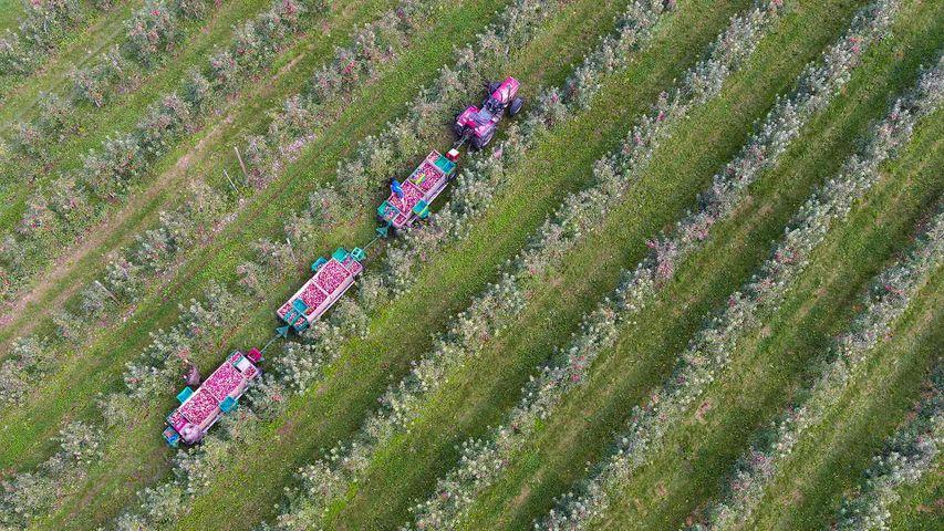 Apfelernte bei Kippenhausen, Immenstaad am Bodensee, Baden-Württemberg