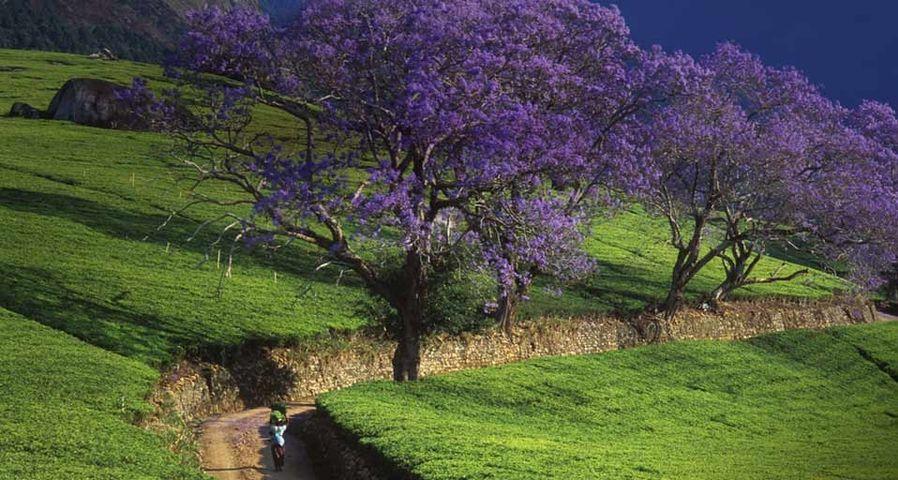 Eine Frau spaziert vorbei an Palisanderholzbäumen in Malawi, Afrika – Ian Cumming/age fotostock ©