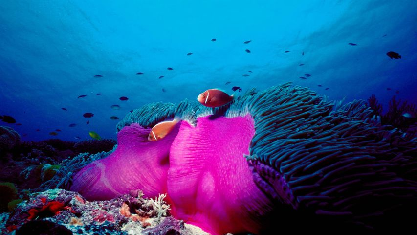 Pink skunk clownfish and magnificent sea anemone in the Great Barrier Reef, Australia