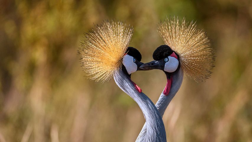 Grey crowned cranes forming a heart