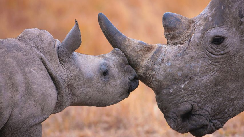Baby white rhinoceros and mother, Hluhluwe–Imfolozi Park, South Africa