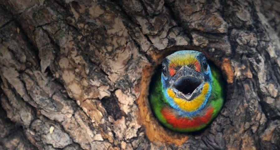 A Muller's Barbet, a species endemic to Taiwan, stands guard by its nest in Taipei