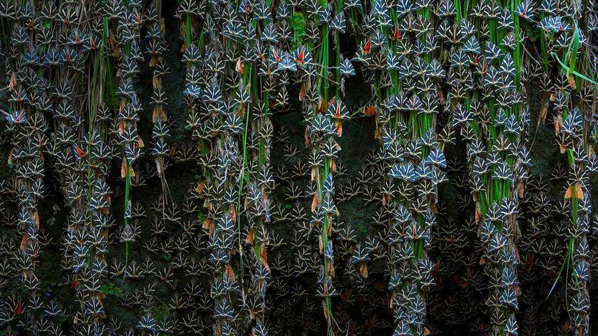Jersey tiger moths in Petaloudes, Greece