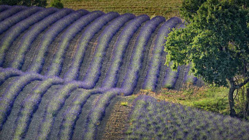 Lavendelfelder, Hochebene von Valensole, Département Alpes-de-Haute-Provence, Region Provence-Alpes-Côte d'Azur, Frankreich