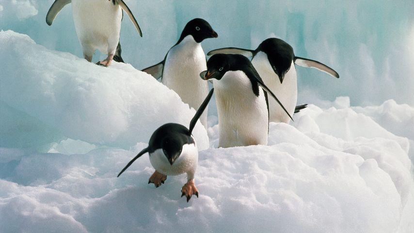 """身着""""正装""""的阿德利企鹅"""
