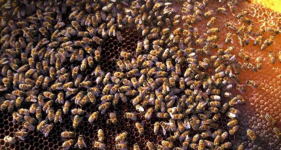 Honey bees in San Felice Circeo, Italy