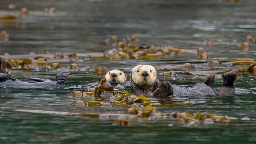 Sea otters in Alaska's Inside Passage