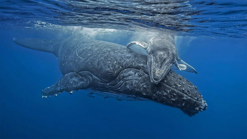 Young humpback whale giving its mother a hug off the coast of the Tongan archipelago