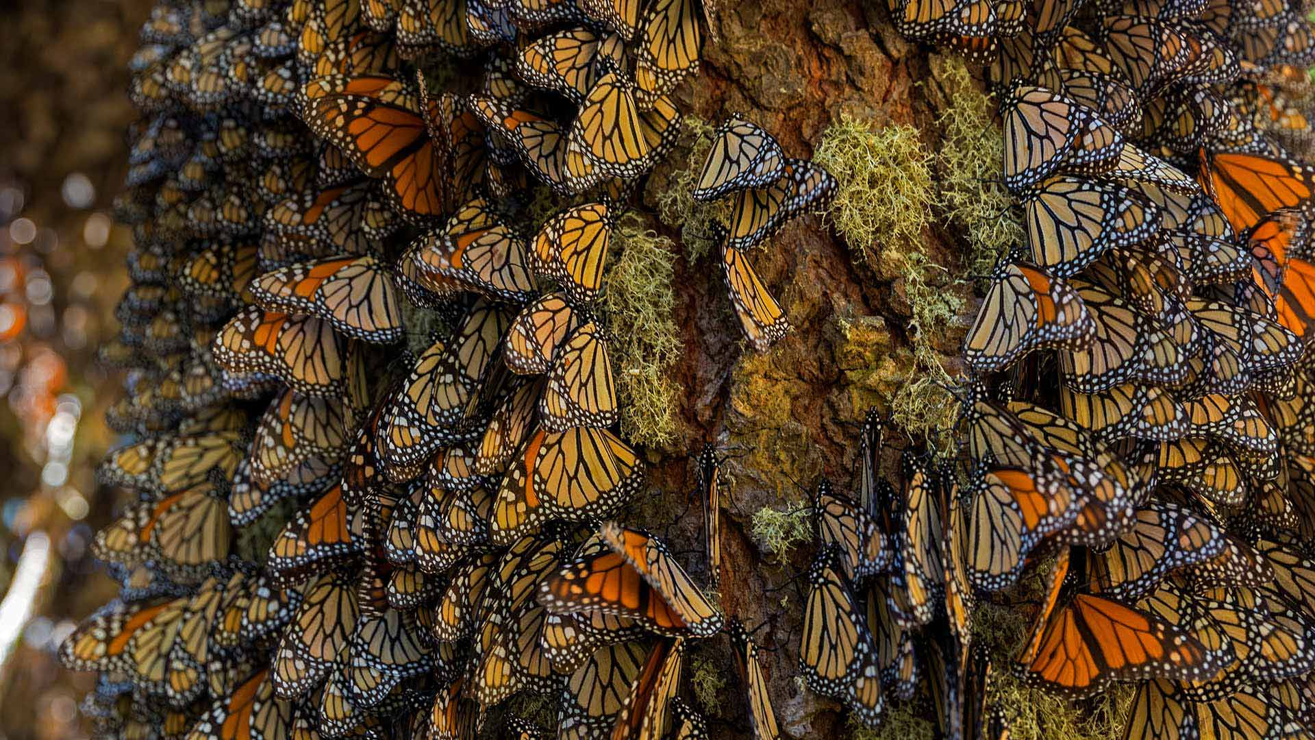 Monarch butterflies wintering in Michoacán, Mexico
