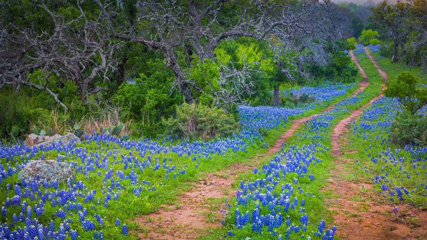 Bluebonnets growing alongside an old road in the Texas Hill Country
