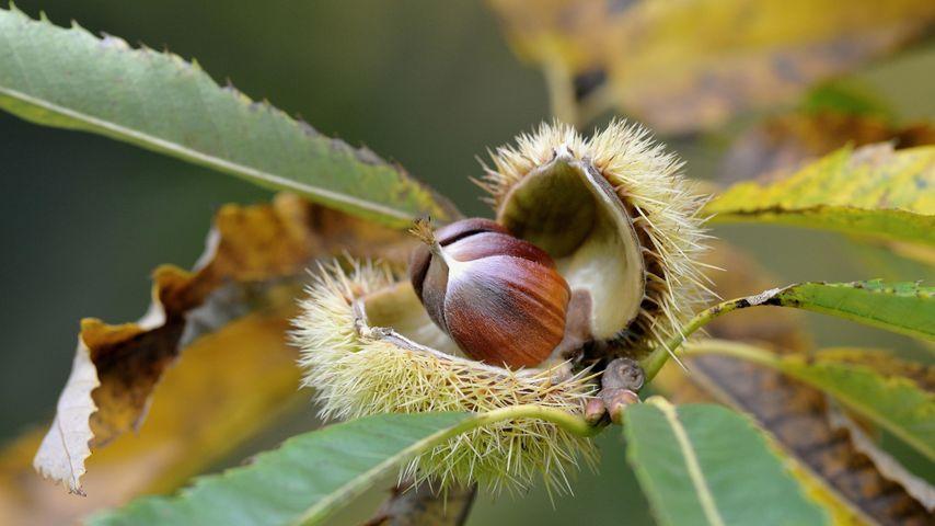 Reife Früchte einer Edelkastanie, Nordrhein-Westfalen