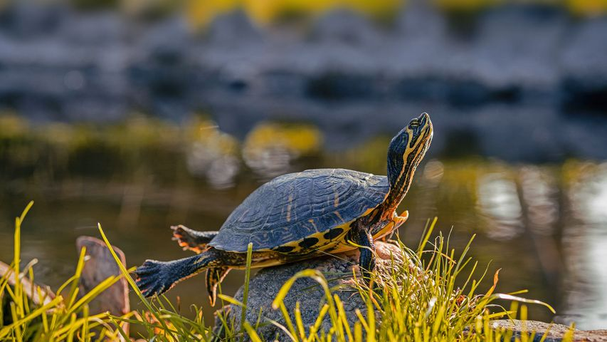 A male yellow-bellied slider