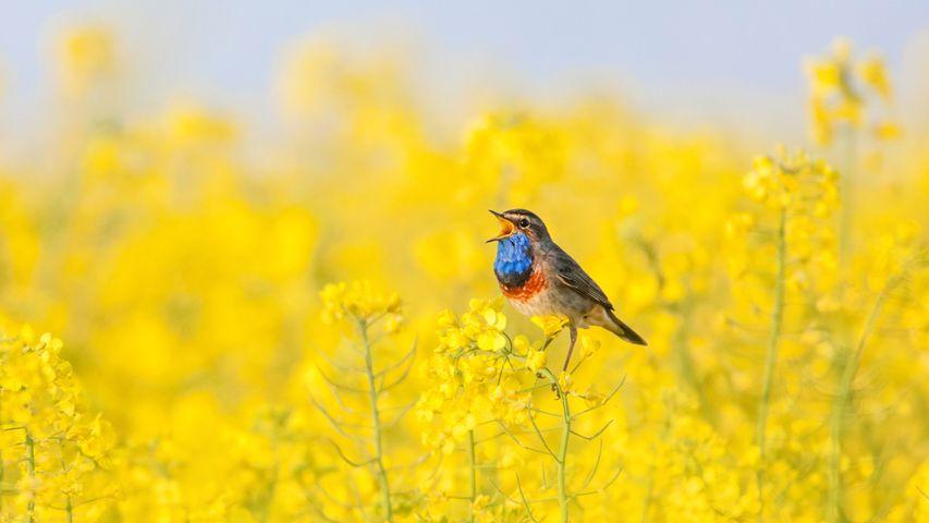 A bluethroat singing in a field