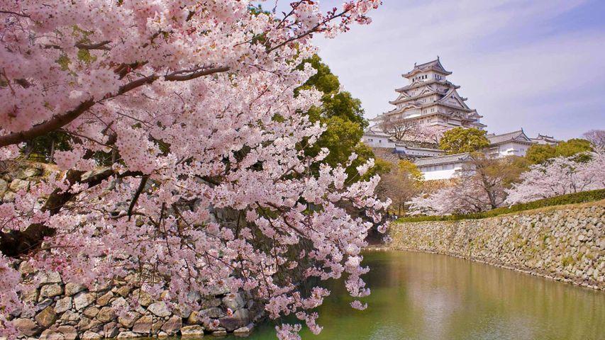 Castillo Himeji y cerezos en flor, Japón