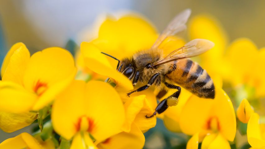 Honey Bee on Pea flower, Muogamarra Nature Reserve, NSW